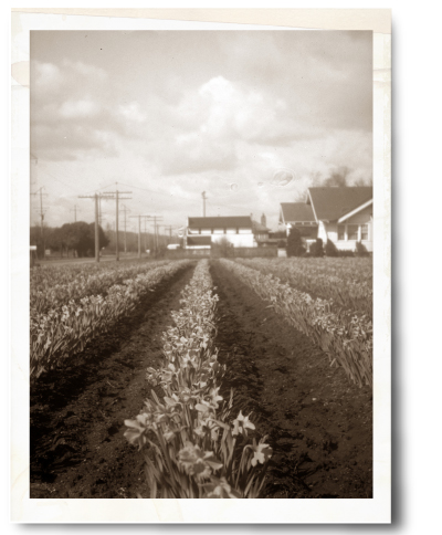 Historic photo of crop rows at Spooner Farms in Orting, WA
