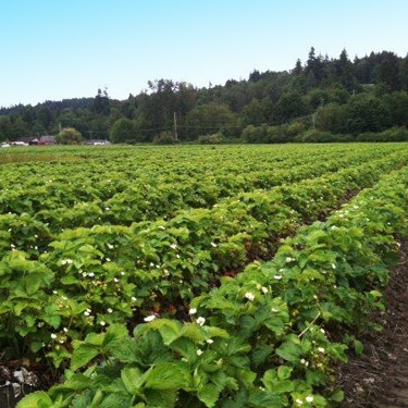 Photo of our strawberry fields in Puyallup, WA